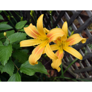 A yellow lily featured in the Blacksburg Garden Tour
