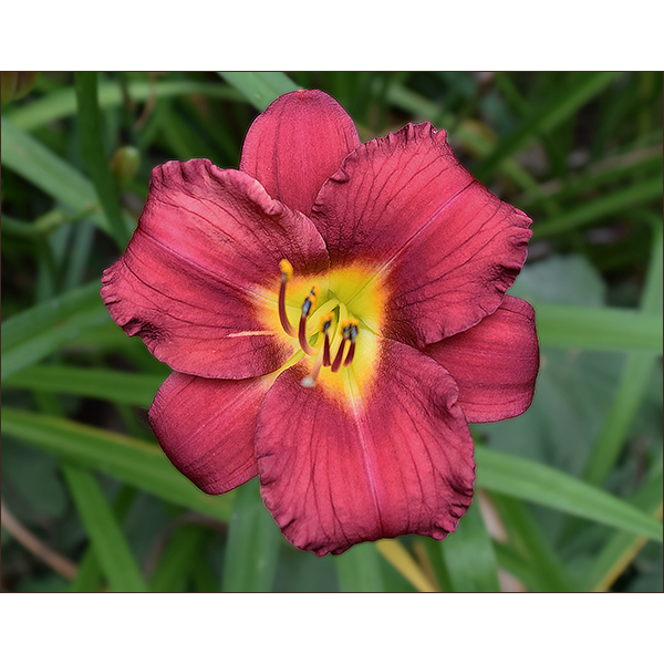 Red Lily Muddy Marmots Photography